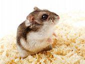 foto of hamster  - Djungarian hamster in sawdust on white background - JPG