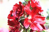 pic of hollyhock  - Red hollyhock flowers - JPG