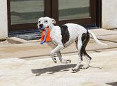 picture of toy dogs  - A white pitbull dog running around the pool with a toy - JPG
