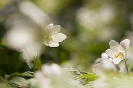 picture of windflowers  - wallpaper of close up of white windflower with selective focus and shallow DOF - JPG