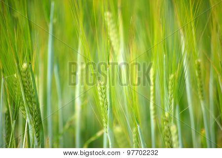 Fresh barley