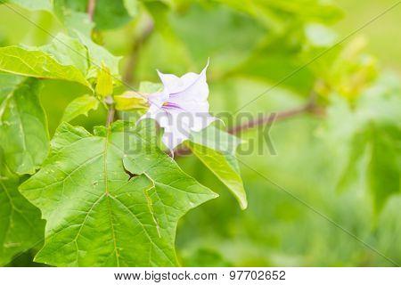 Beautiful Brugmansia Flowers Growing In Garden