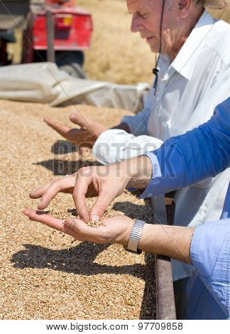 Wheat Grains In Human Palm