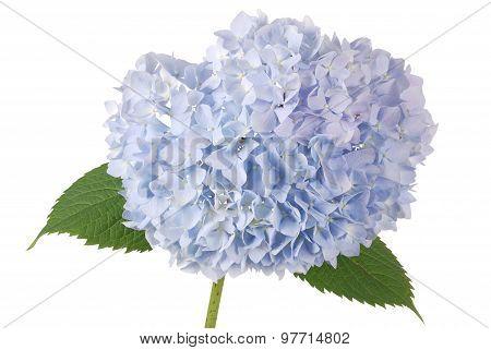 Blue Flower Hydrangea (clipping Path)