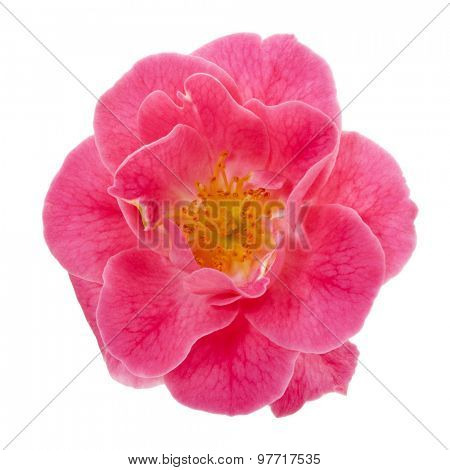 vibrant pink dog rose blossom isolated with clipping path