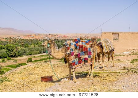 Camels waiting for tourists near Todgha Gorge, Morocco