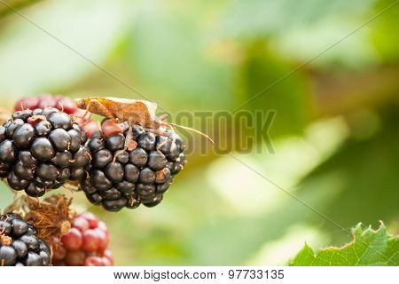 Shield bug crawling on berry cluster