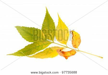 Yellowed Autumnal Ash-tree Leaves