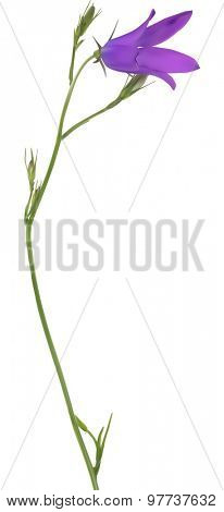 illustration with Spreading bellflower isolated on white background