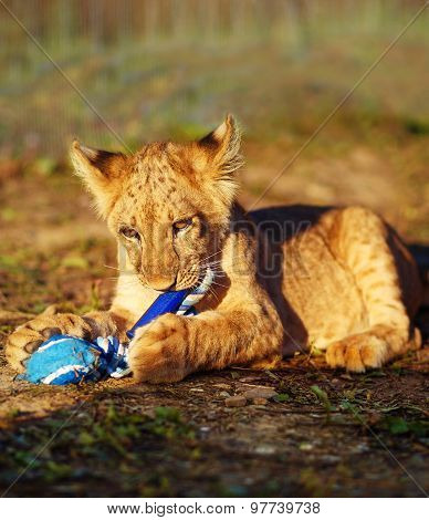 lion cub cuddling in nature and plaing with toy.