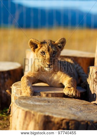 Lion cub in nature with blue sky and wooden log.