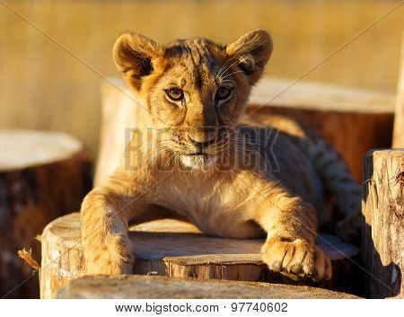 Lion cub in nature and wooden log. eye contact.