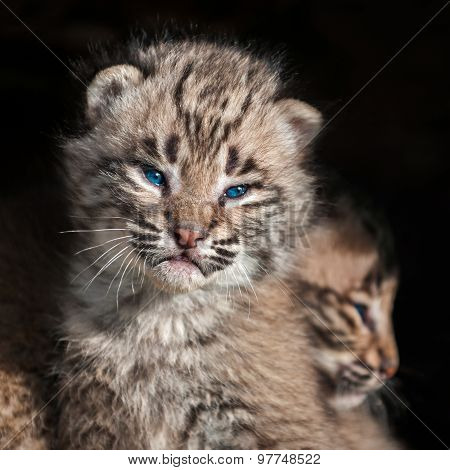 Baby Bobcat Kit (lynx Rufus) Closeup
