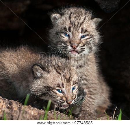 Two Baby Bobcat Kits (lynx Rufus) In Hollow Log