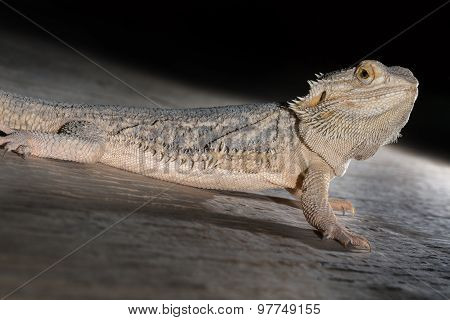 Agama Lizard On The Black Background