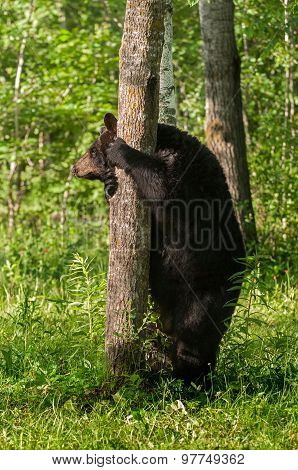 Adult Female Black Bear (ursus Americanus) Hold On To Tree