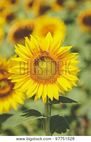 Blooming sunflower field, close up