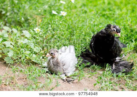 Two Pigeon Nestling Baby In Green Grass