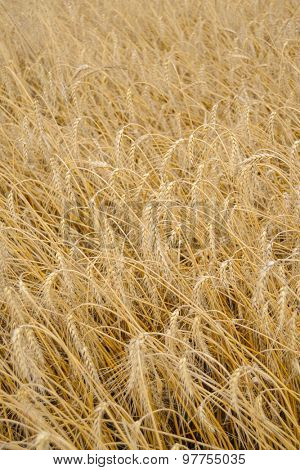 Golden Ripe Wheat Background. Close-up of Ripe Wheat Ears. Harvesting Concept