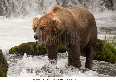 Brown Bear Yawns Beside Green Mossy Rock