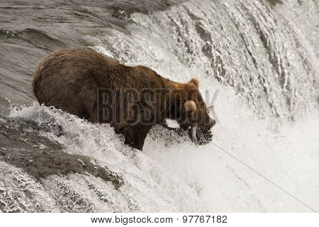 Brown Bear With Salmon In Its Mouth