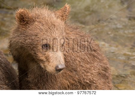 Close-up Of Brown Bear Cub Turning Head