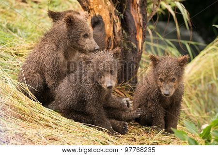 Four Brown Bear Cubs Sitting By Tree