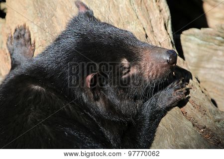 Sleeping Tasmanian Devil