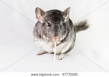 Chinchilla eating lollipop