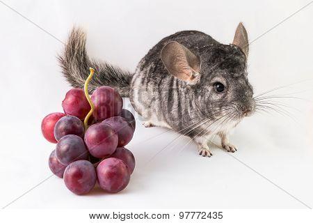 Chinchilla and grapes