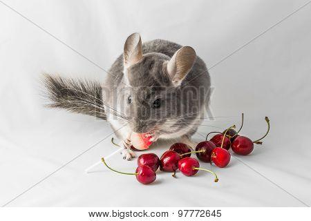 Chinchilla eating red cherries