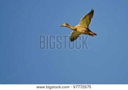 Female Mallard Duck Flying In A Blue Sky