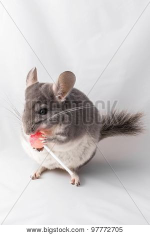 Chichilla eating lolly