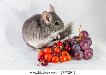 Chinchilla with fresh fruit