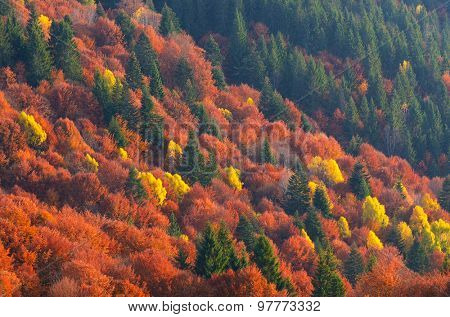 Colors of autumn forest. Trees on the hillside. Beauty in nature. Mountains Carpathians, Ukraine, Europe