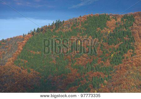 Autumn forest on the hillside. Beech and fir trees. Natural texture. Carpathians, Ukraine, Europe
