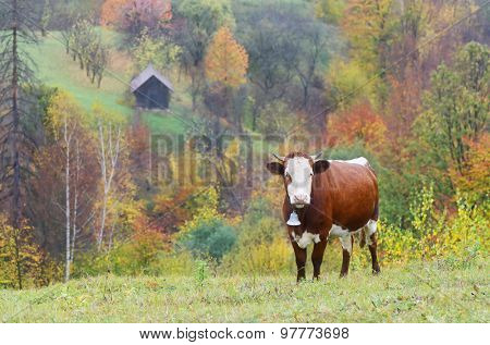 Brown cow with a bell. Pasture in the mountain village. Autumn time