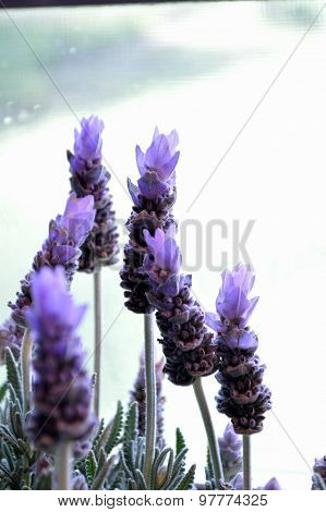 Lavender Plant In Front Of Window.
