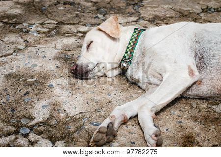 The White Dog Sleeping On The Cement Floor