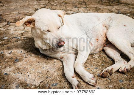 The White Dog Wake Up With Sunlight