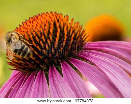 Closeup of echinacea flower with bee