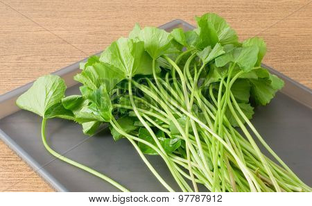 Fresh Green Centella Asiatica Plant On A Tray