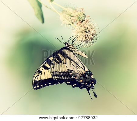Eastern Tiger Swallowtail Butterfly (papilio Glaucus) on Buttonbush Flowers