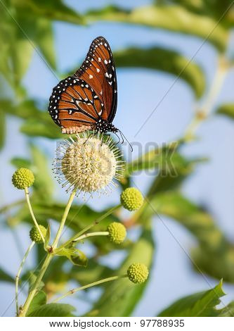 Queen Butterfly (danaus Gilippus) On Buttonbush Flowers