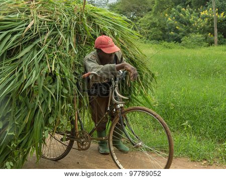 Bicycle Overloaded With A Large Heap Of Freshly Cut Elephant Grass