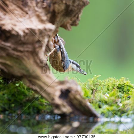 Eurasian nuthatch in tree with seed in beak