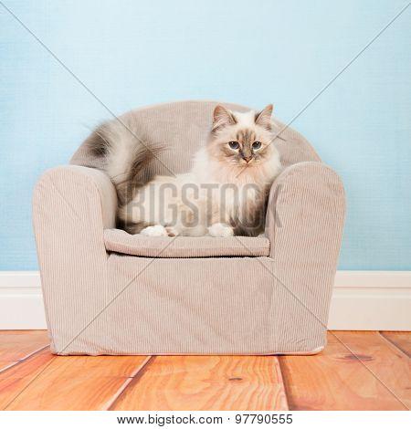Portrait Birman cat in little chair