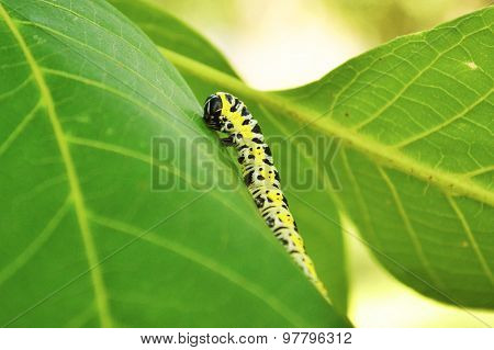 Big green caterpillar on the leaf