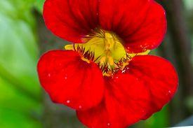 image of nasturtium  - Beautiful nasturtium flowers blooming in garden - JPG
