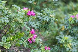 picture of wild-brier  - Wild rose bushes with flowers and fruits photographed in summertime forest - JPG